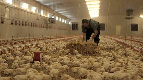 Landwirt Schedl platziert einen Strohballen im Hähnchenmaststall