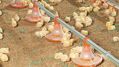 Küken fressen aus der neuen Schale für die Hähnchenmast