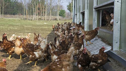 Freilandhaltung: Hennen verlassen Stall
