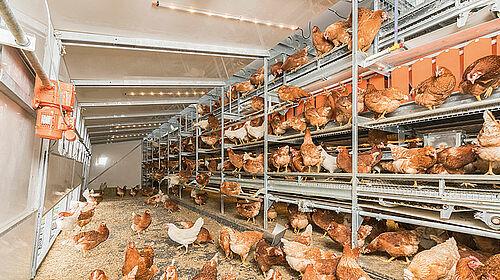 Voliere mit Hühnern im Inneren des Mobilstalls