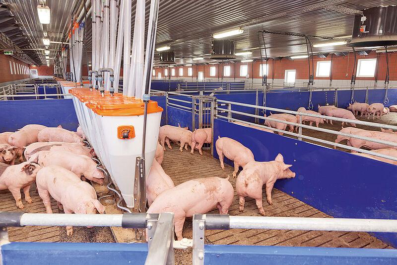 Sortierwaage TriSort für die Schweinemast