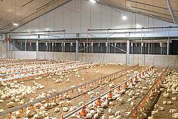 Geflügelmast | Stall mit Hähnchen und Abluftwäscher
