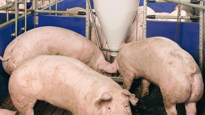 Fütterungsanlagen für den Schweinemaststall (803 KB)