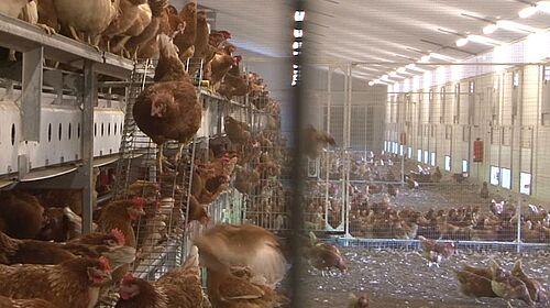 Photo: Hennen in kombinierter Volierenhaltung und Freilandhaltung