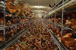 Hühner auf Boden und in den Volieren-Etagen