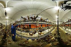Photo aus Volierenstall mit Legehennen und Geflügelhalter